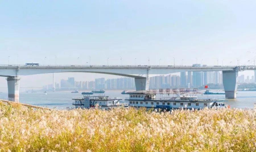 武汉江滩芦苇荡美景